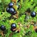Empetrum nigrum BLACK CROWBERRY (20 seeds)