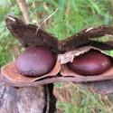 Entada rheedii AFRICAN DREAM BEANS (3 seeds)