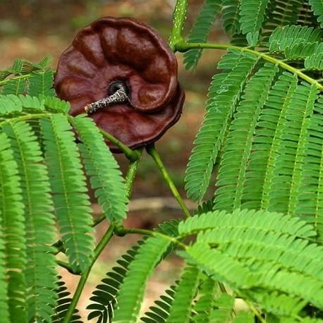 oreja-de-elefante
