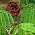 Enterolobium ARBOL DE LA LLUVIA / SAMANEA SAMAN (4 semillas)