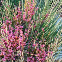 Ephedra fragilis JOINT PINE (15 seeds)