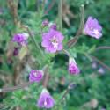 Epilobium augustifolium SCHMALBLÄTTRIGES WEIDENRÖSCHEN (50 samen)