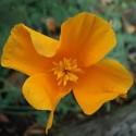 Eschscholzia californica AMAPOLA DE CALIFORNIA (25 semillas)