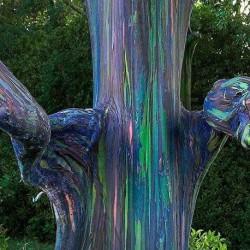 Eucalyptus deglupta RAINBOW TREE EUCALYPTUS (25 seeds)