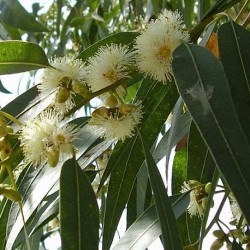 Eucalyptus globulus TASMANIAN BLUE GUM (30 seeds)