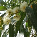 Eucalyptus globulus BLAUER EUKALYPTUS (30 samen)