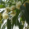 eucalipto-azul