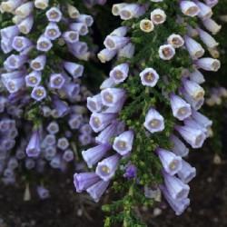 fabiana-imbricata-seeds