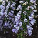 Fabiana imbricata FABIANA (10 semillas)