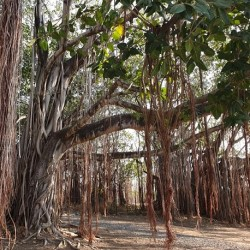 Ficus benghalensis BANIANO (30 semillas)