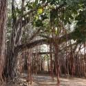 Ficus bengalensis FIGUIER DES BANYANS (30 graines)