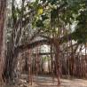 banyan-feige