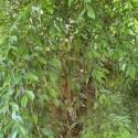 Ficus benjamina BIRKENFEIGE (pflanze)