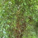 Ficus benjamina FICUS (plante)