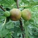 Ficus carica FEIGENBAUM (pflanze)