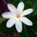 Gardenia tahitensis TIARE, GARDENIA TAHITIANA (5 semillas)