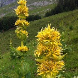 Gentiana lutea YELLOW GENTIAN (30 seeds)