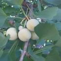 Ginkgo biloba MAIDENHAIR (5 seeds)