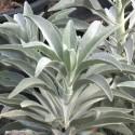 Salvia apiana WEISSER SALBEI (10 samen)