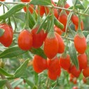 GOJI 500 semillas