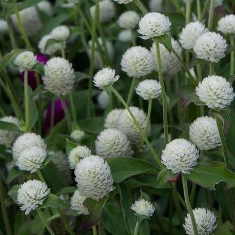 amaranto-globoso-semillas