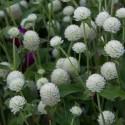 Gomphrena globosa GLOBE AMARANTH (10 seeds)