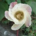 Gossypium herbaceum COTTON PLANT (10 seeds)