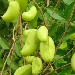 Griffonia simplicifolia GRIFFONIA (6 samen)
