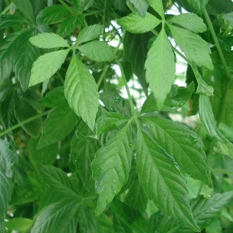 jiaogulan-live-plant