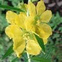 Heimia salicifolia SINICUICHI (50 graines)