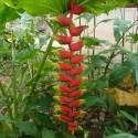 Heliconia collinsiana HELICONIA COLGANTE (5 semillas)