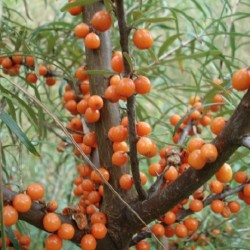 Hippophae rhamnoides SEA-BUCKTHORN (15 seeds)