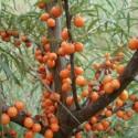 Hippophae rhamnoides ARGOUSIER (15 graines)