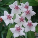 Hoya bella carnosa FLEUR DE PORCELAINE (plante)