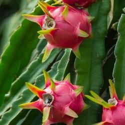 semillas-de-pitaya