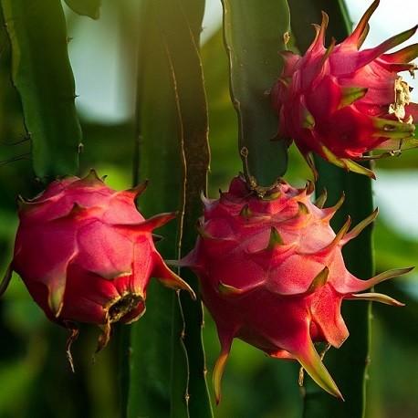 plant-de-pitaya-fruit-du-dragon