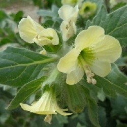 Hyoscyamus albus JUSQUIAME BLANCHE (20 graines)