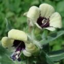 Hyoscyamus niger SCHWARZES BILZENKRAUT (pflanze)