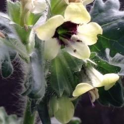Hyoscyamus niger HENBANE (30 seeds)