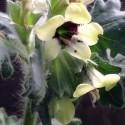 Hyoscyamus niger JUSQUIAME NOIRE (30 graines)