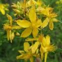 Hypericum perforatum HIERBA SAN JUAN (50 semillas)