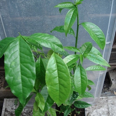 guayusa-pflanze