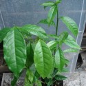 Ilex guayusa GUAYUSA (planta)