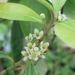 Ilex paraguariensis YERBA MATE / PARAGUAYAN TEA (20 seeds)