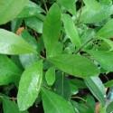 Ilex paraguariensis YERBA MATE, THÉ DU PARAGUAY (plante)