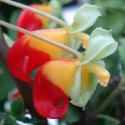 Impatiens niamniamensis CONGO CACATUA (planta)