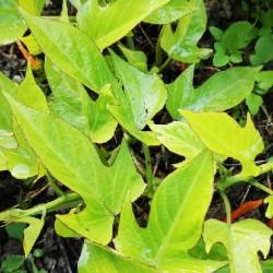 Ipomoea batatas SWEET POTATO (plant)