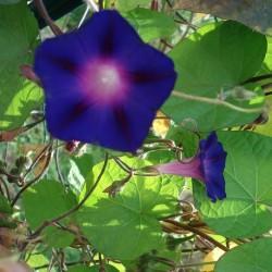 Ipomoea purpurea SCHWARZ PRUNKWINDEN KNIOLAS BLACK (10 samen)