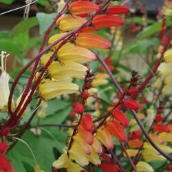 Ipomoea mina lobata FIRECRACKER VINE (6 seeds)