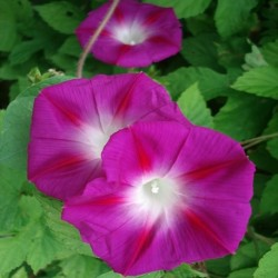 Ipomoea purpurea MORNING GLORY (25 seeds)